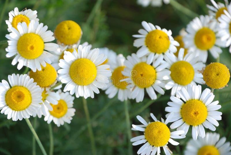 Download Flores da margarida foto de stock. Imagem de fundir, daisy - 26520978