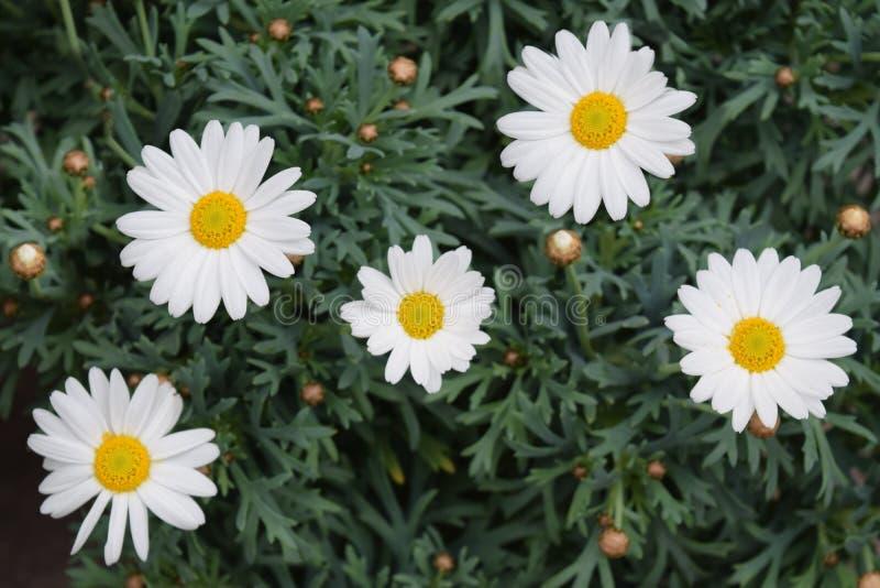Flores da margarida imagem de stock