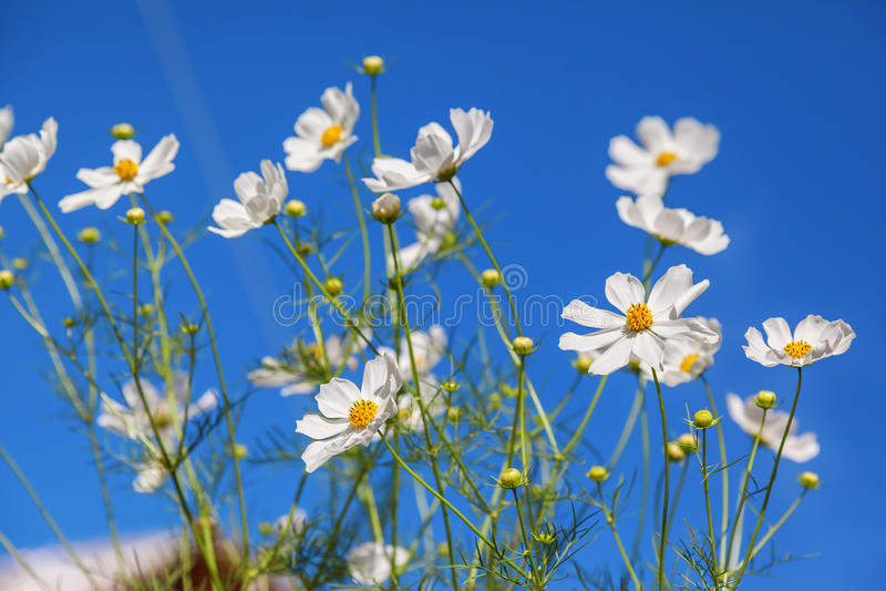 Flores da margarida branca contra o céu azul foto de stock royalty free