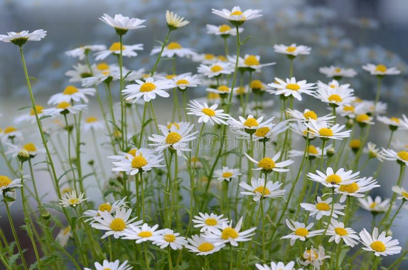 Flores da margarida branca, fundo borrado, imagens de stock