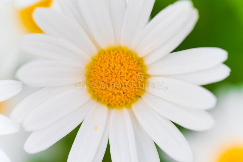 Flores da margarida de Marguerite foto de stock