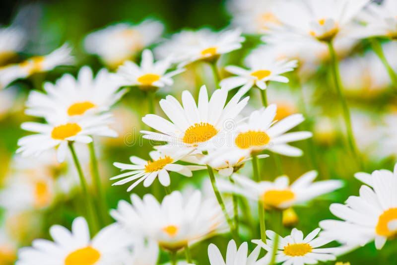 Flores da margarida de Marguerite fotos de stock royalty free