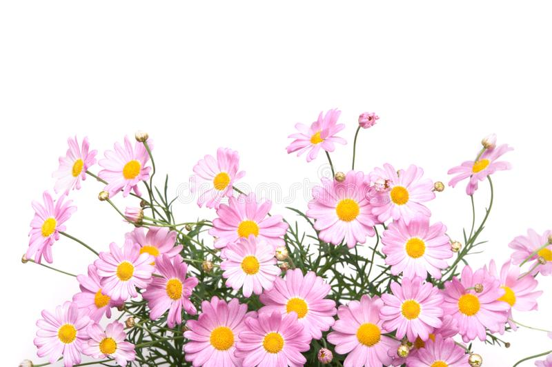 Flores da margarida de Marguerite em cores cor-de-rosa fotos de stock royalty free