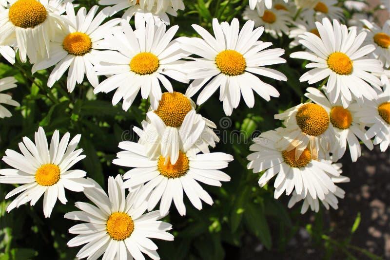 Flores da margarida de Shasta imagens de stock