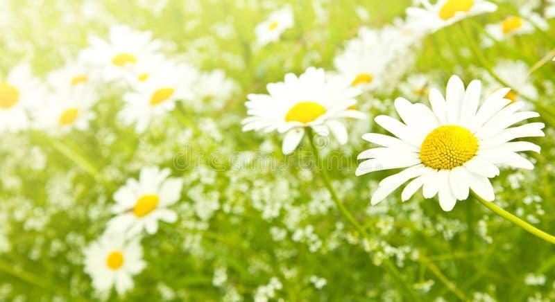Flores da margarida do campo imagens de stock