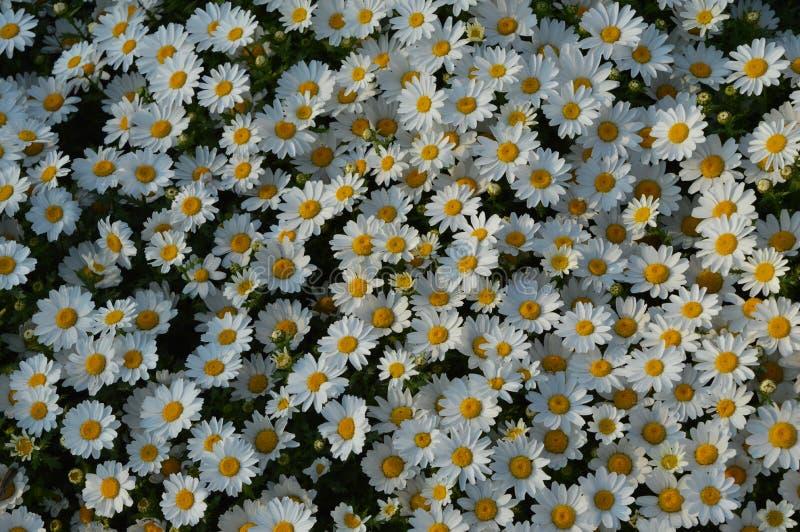 Flores da margarida, fim acima da florescência comum dos perennis do bellis foto de stock royalty free