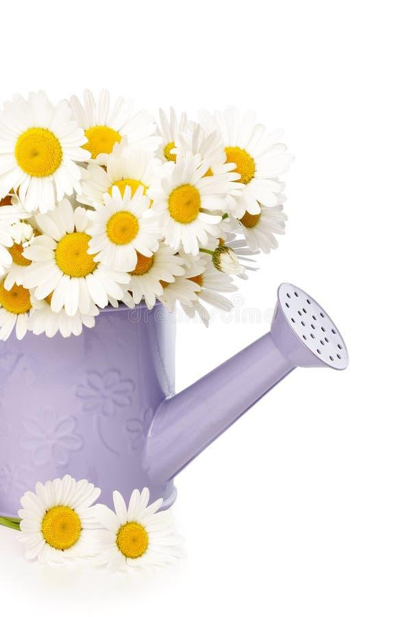 Flores da margarida na cubeta molhando violeta fotografia de stock royalty free