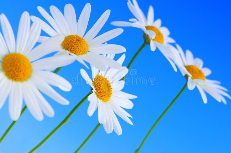 Flores da margarida no fundo azul imagem de stock royalty free