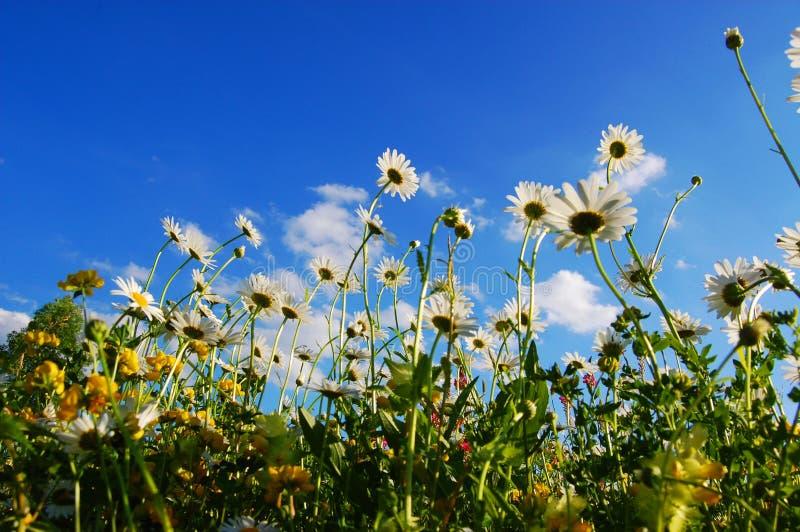 Flores da margarida no verão fotos de stock
