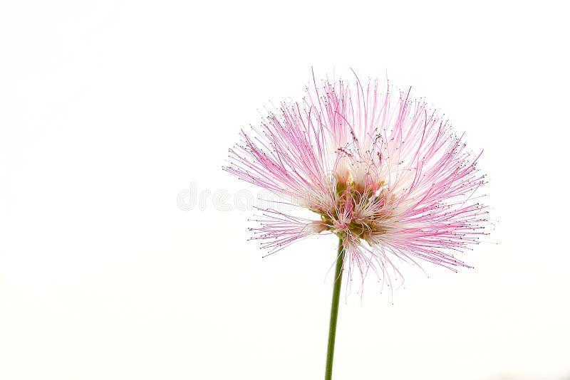 Flores da mimosa fotos de stock royalty free