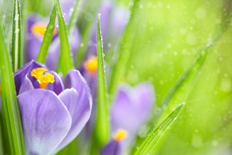 Flores da mola do açafrão imagens de stock royalty free