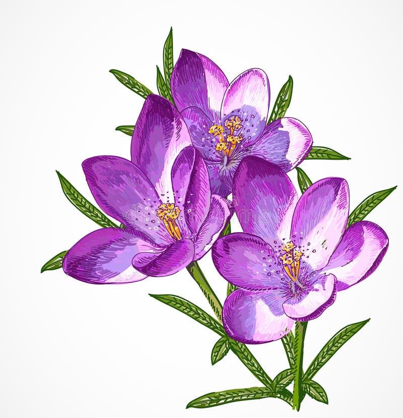Flores da mola do açafrão do vetor para seu projeto. ilustração stock