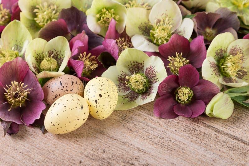 Flores da mola do conceito da Páscoa com ovos da páscoa O Hellebore ou quaresmal aumentaram no close up imagens de stock