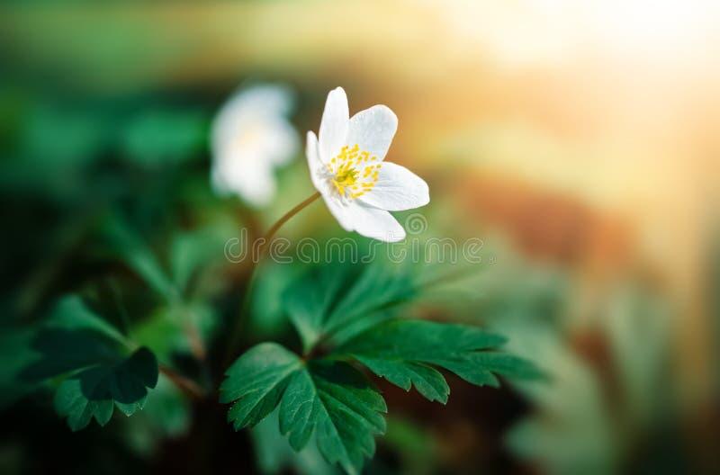 Flores da mola dos sylvestris da anêmona primeiras imagem de stock