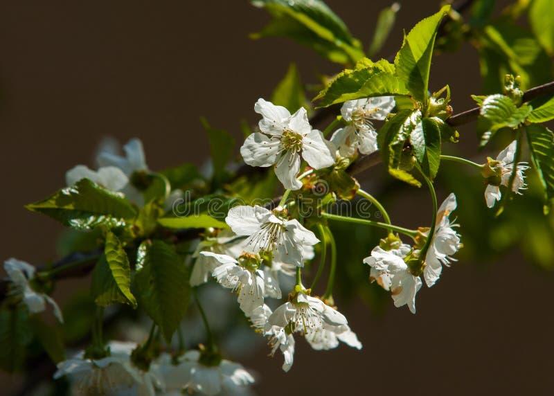 Flores da mola da maçã Árvores de Apple na flor Flores da maçã flores brancas de ascendente próximo de florescência da árvore Blo fotografia de stock