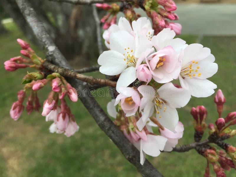 Flores da mola na árvore foto de stock royalty free