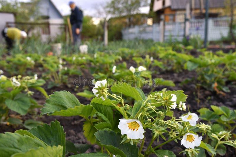 Flores da morango imagem de stock