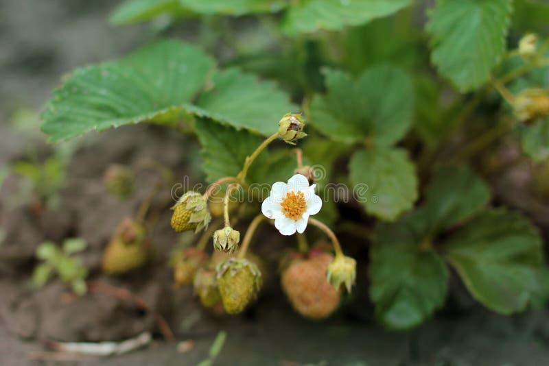 Flores da morango no jardim fotografia de stock
