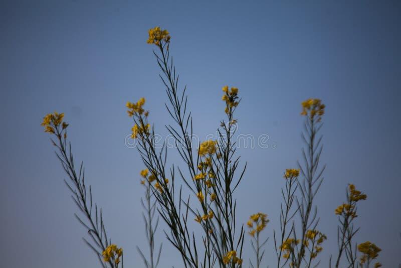 Flores da mostarda imagens de stock royalty free