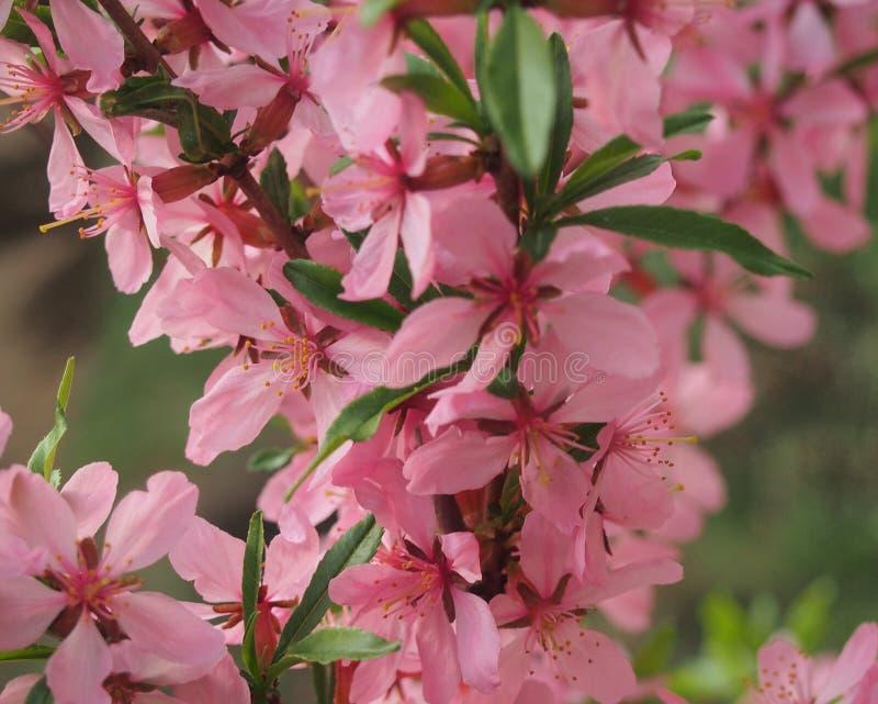 Flores da am?ndoa Os ramos da ?rvore s?o cobertos com as p?talas cor-de-rosa da flor fotos de stock