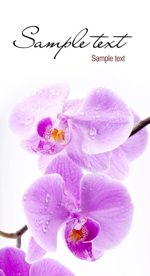 Flores da orquídea imagem de stock royalty free