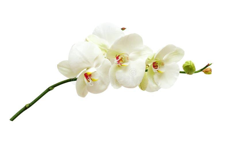 Flores da orquídea fotos de stock royalty free