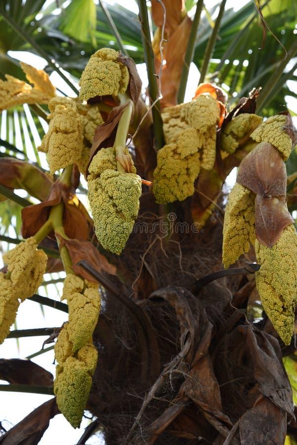 Flores da palma do cânhamo imagem de stock royalty free