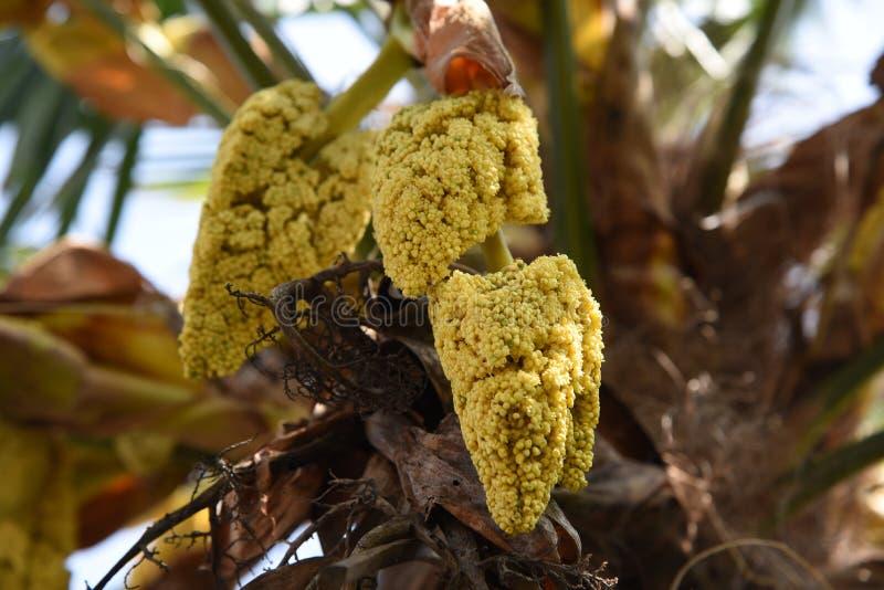 Flores da palma do c?nhamo imagens de stock