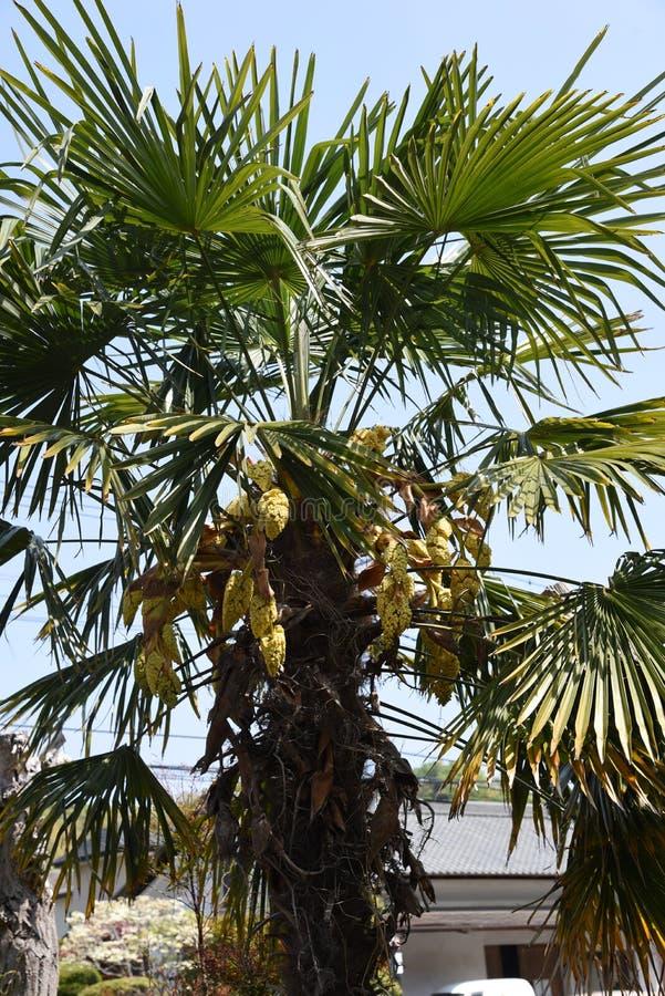 Flores da palma do c?nhamo foto de stock royalty free