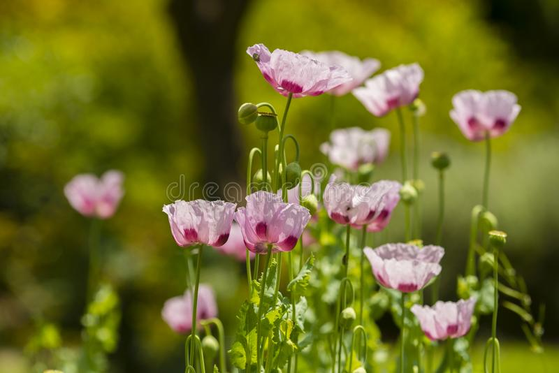 Flores da papoila de ópio, Papaver - somniferum fotos de stock