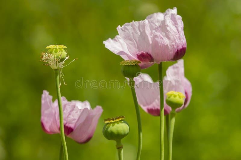 Flores da papoila de ópio, Papaver - somniferum fotografia de stock royalty free