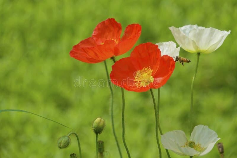 Flores da papoila de milho imagens de stock