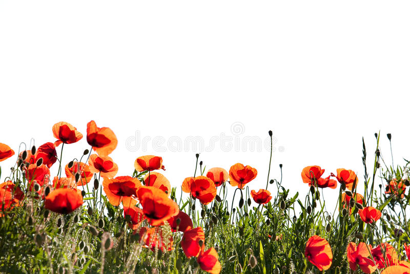 Flores da papoila do milho no branco imagens de stock royalty free