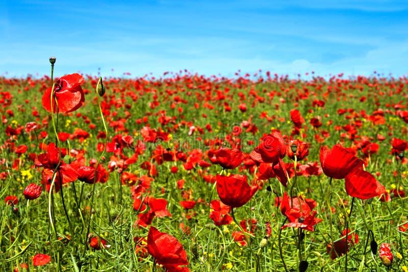 Flores da papoila do verão imagens de stock royalty free