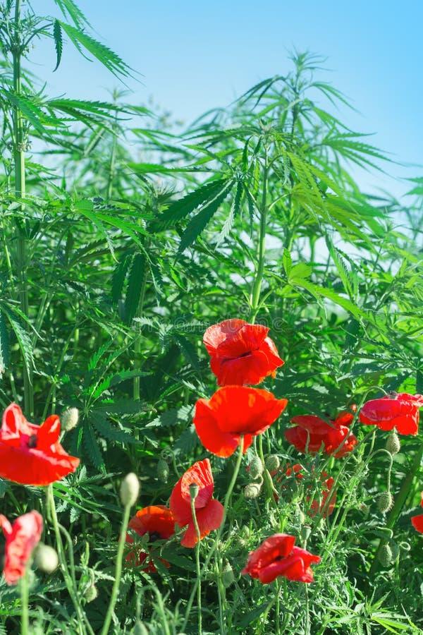 Flores da papoila e cannabis vermelhos - marijuana fotografia de stock royalty free