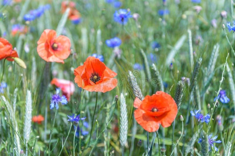 Flores da papoila e do milho foto de stock royalty free