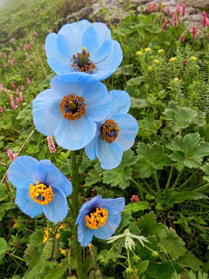 Flores da papoila entre os vales montanhosos fotos de stock