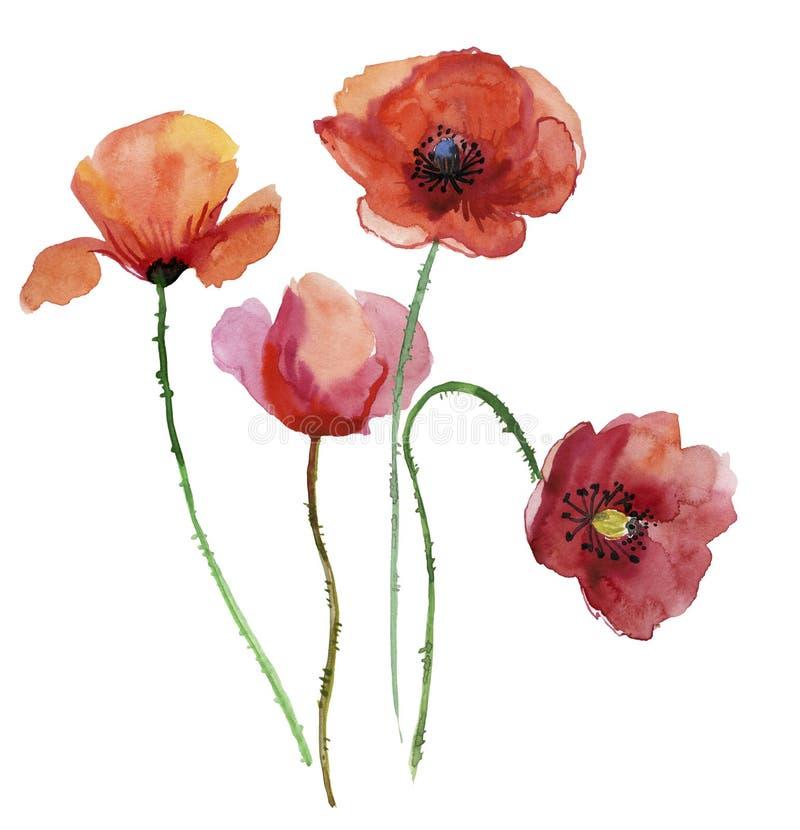 Flores da papoila, ilustração do watercolour ilustração royalty free