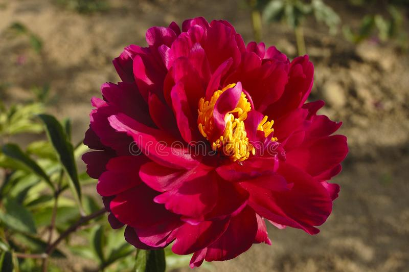 Flores da peônia imagem de stock royalty free