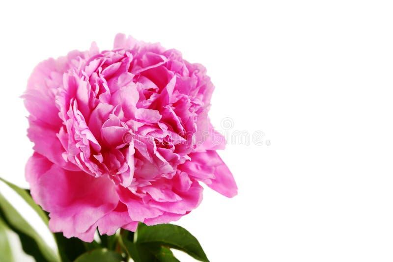 Flores da peônia foto de stock