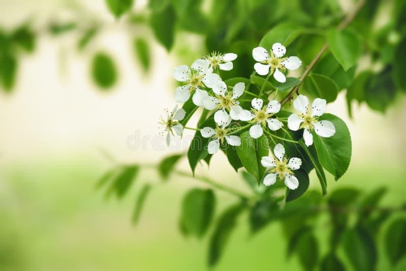 Flores da pera imagens de stock