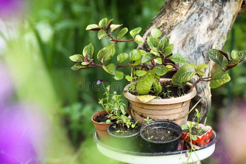 Flores da planta de potenciômetro na tabela no fundo bonito do jardim do verde da hortênsia imagem de stock royalty free