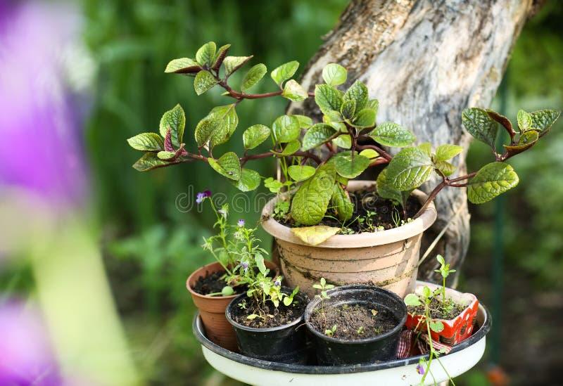 Flores da planta de potenciômetro na tabela no fundo bonito do jardim do verde da hortênsia fotografia de stock