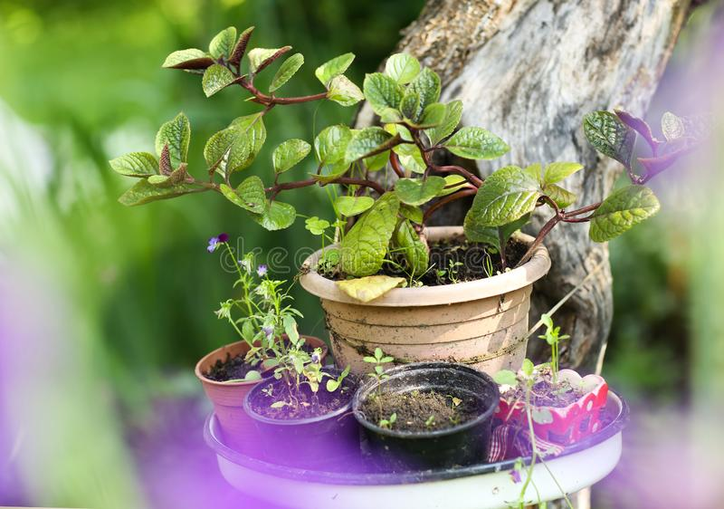 Flores da planta de potenciômetro na tabela no fundo bonito do jardim do verde da hortênsia imagens de stock