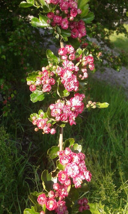 Flores da planta do coração foto de stock