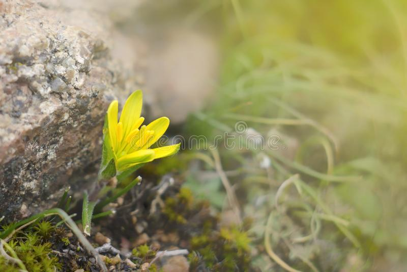 Flores da planta do prado na mola muito adiantada Esta é a flor do lutea de Gagea das cebolas do ganso fotos de stock royalty free