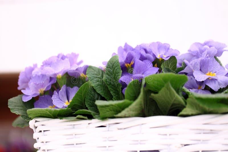 Flores da prímula na cesta de vime branca fotos de stock royalty free