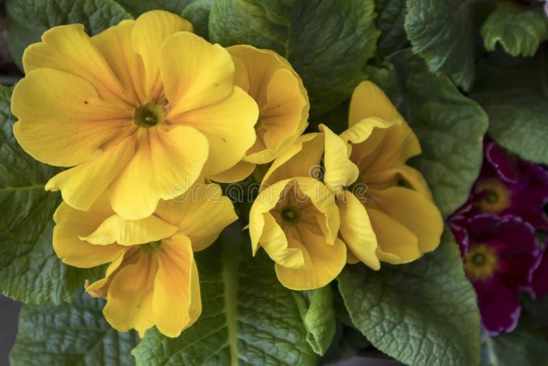 Flores da prímula no fundo verde borrado no jardim no dia ensolarado imagens de stock