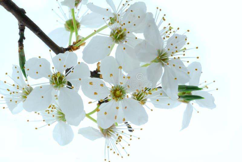 Flores da primavera na árvore fotografia de stock