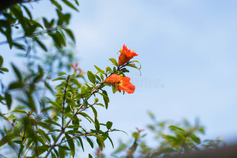 Flores da romã foto de stock